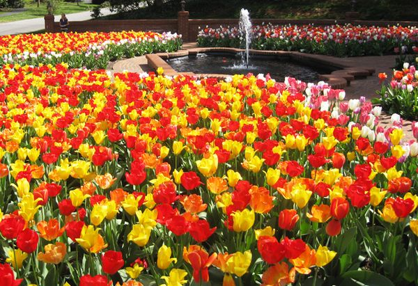 Biltmore tulips with fountain