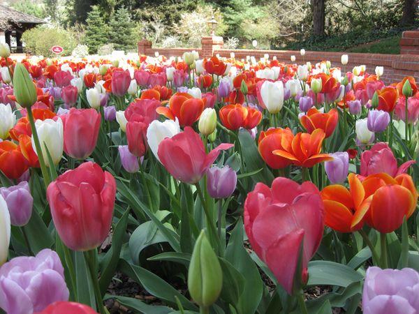 Biltmore tulips 3