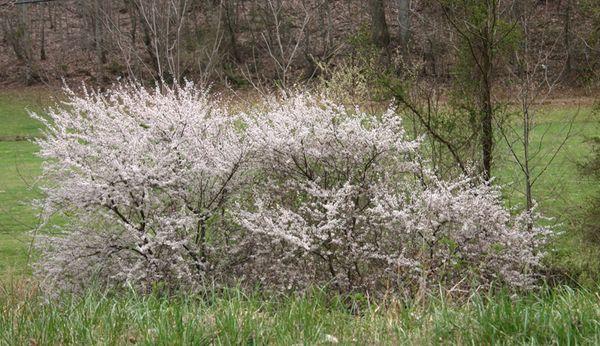 Cabin flowering bushes