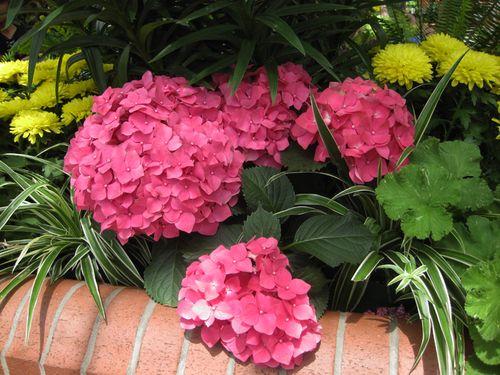 Biltmore hydrangias