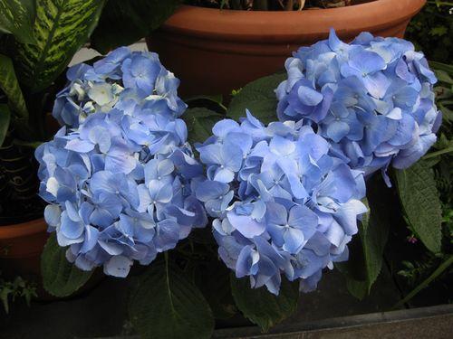 Biltmore blue hydrangias
