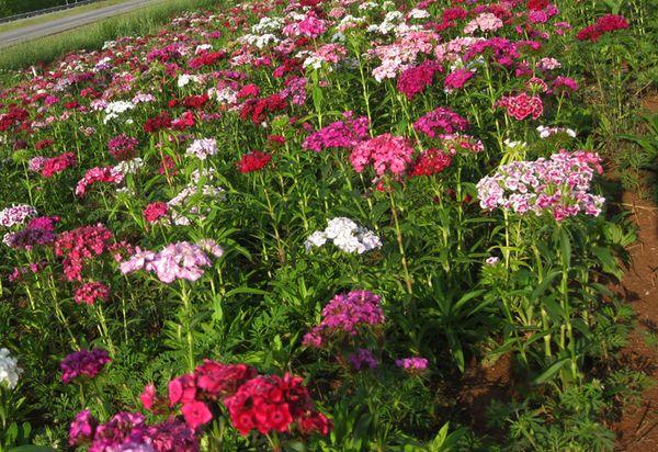 Franklin flowers 7