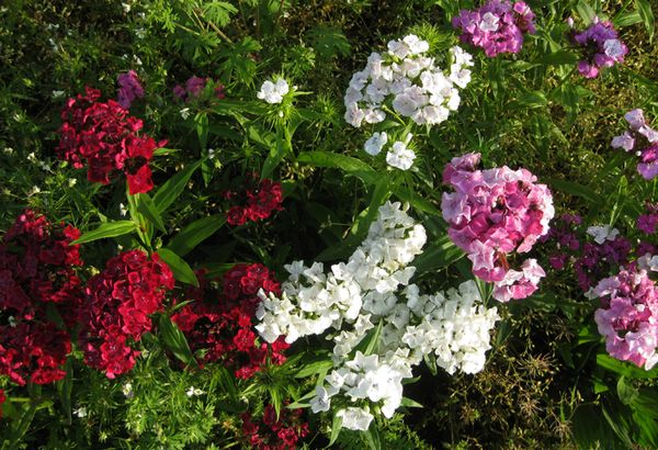 Franklin flowers 2