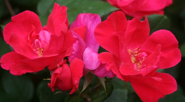 Weds outdoors red roses