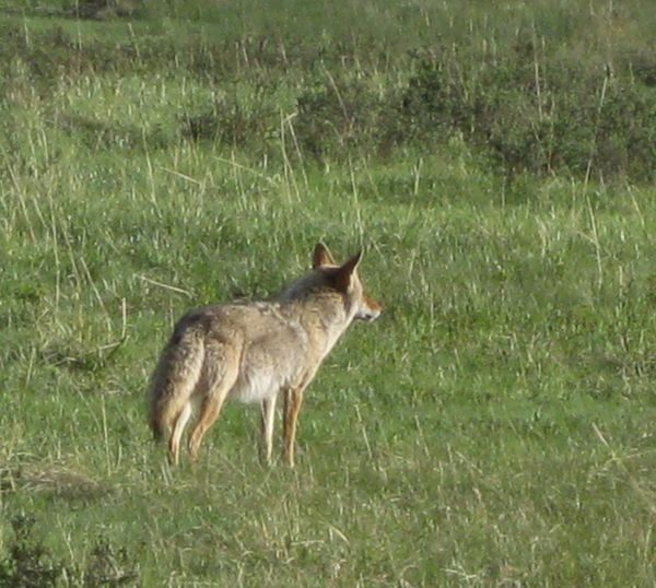 Rocky mtn coyote1
