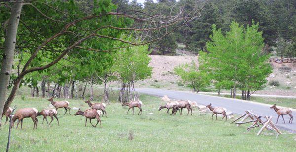 Weds Yellowstone elk crossing