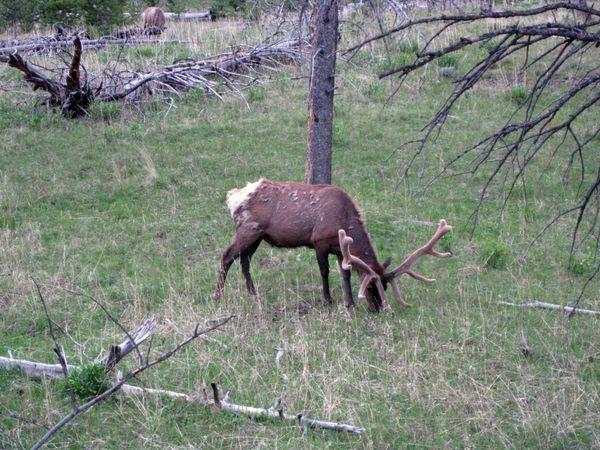Elk today 2
