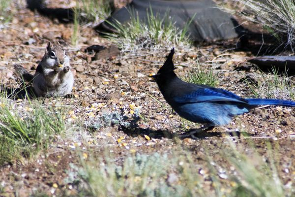 Cabin outdoors bluejay and chipmunk