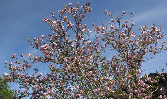 Biltmore tulip tree