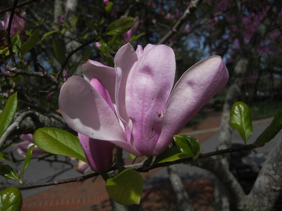 Biltmore tulip tree bloom