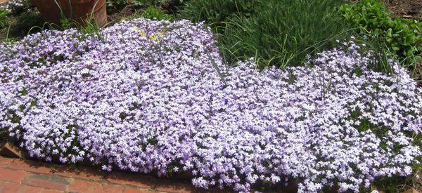 Biltmore purple bed of flowers