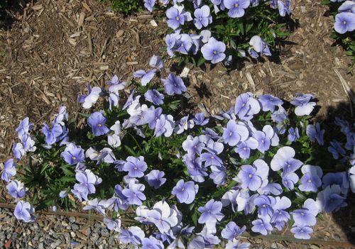 Biltmore lavender pansies