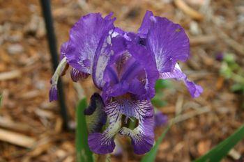 Outdoor Weds, iris 2