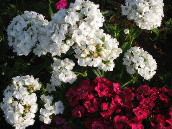 Franklin flowers 3