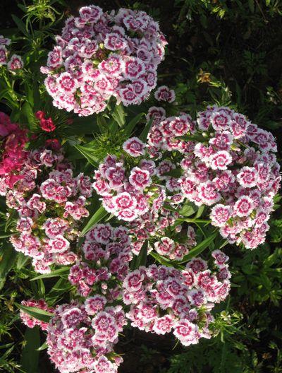 Franklin flowers 4