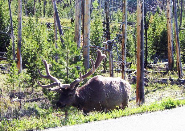Elk by thr road