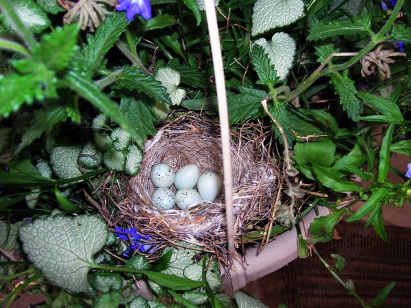 AJ birds nest