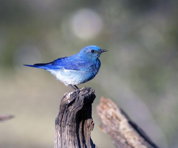 Western Blubird