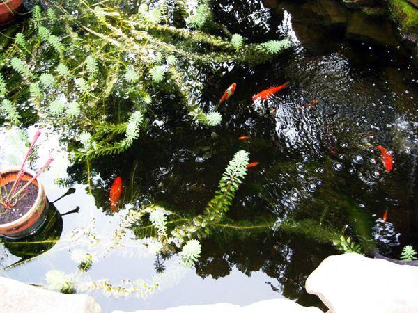 Brett's Coi pond bck yard