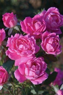 Rose_PinkDKO_220_1