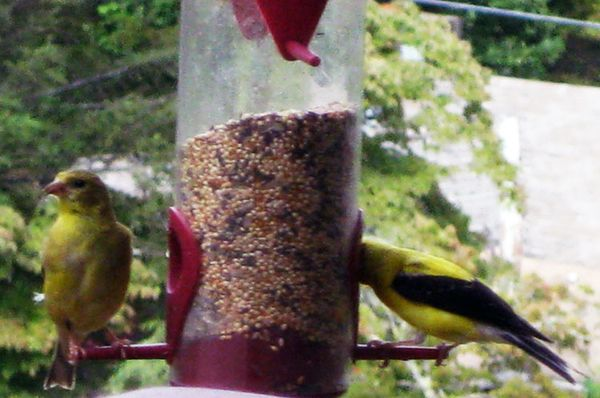 OD finches on feeder