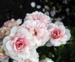 Biltmore pink cluster