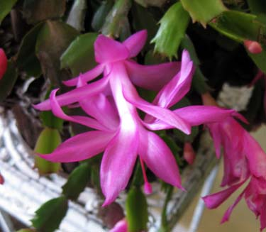 Castus flower
