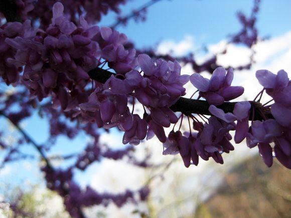 Spring blossoms redbud