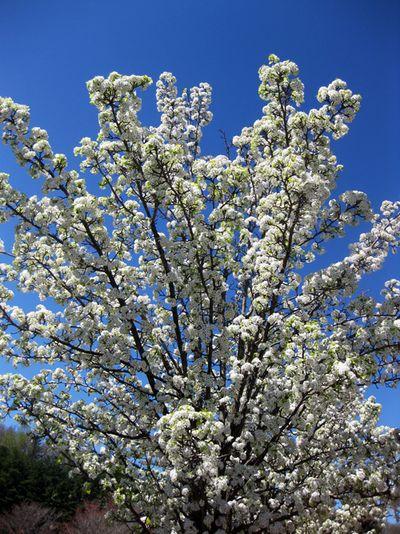 Fowering tree 2010IMG_5594