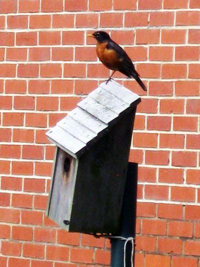 G robin bird house