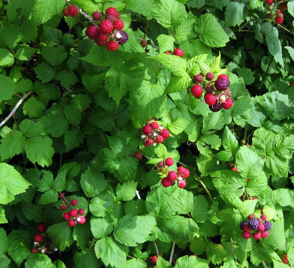Fri black raspberry bushes