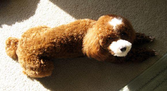 Poodle needing groomed