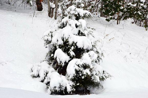 Snow C tree