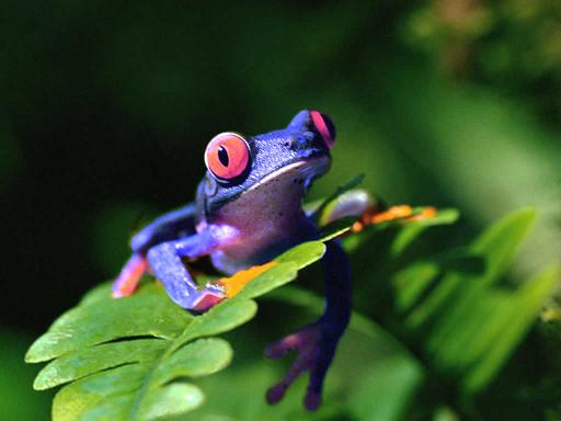 Blue frog - 50per