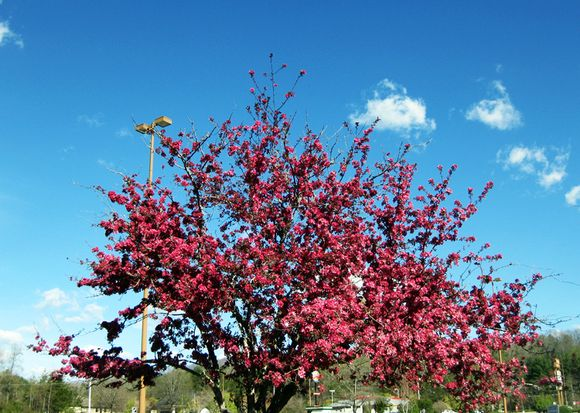 Pink blooming tree