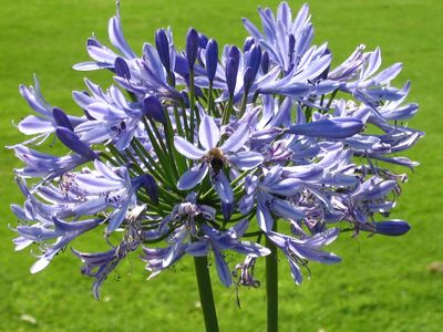 Blue_flowers_1