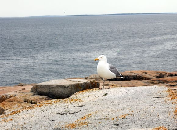 Scoodic Point gull standing