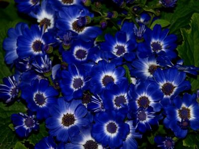 Blue-flowers-laura-allenby