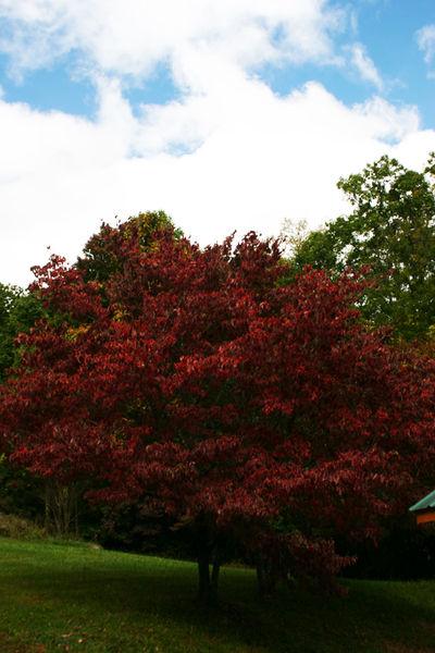 Fall color dogwood