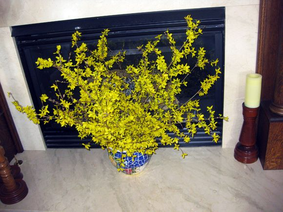Forsythia fireplace