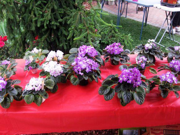 Plant sale violets