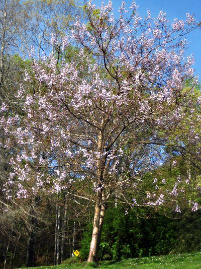 Sisters tree
