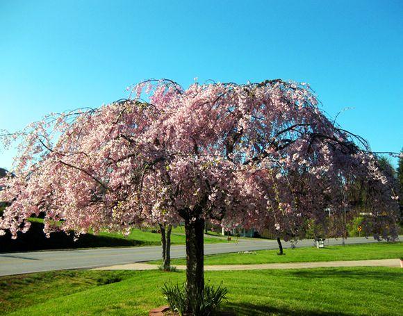 Garden pink tree