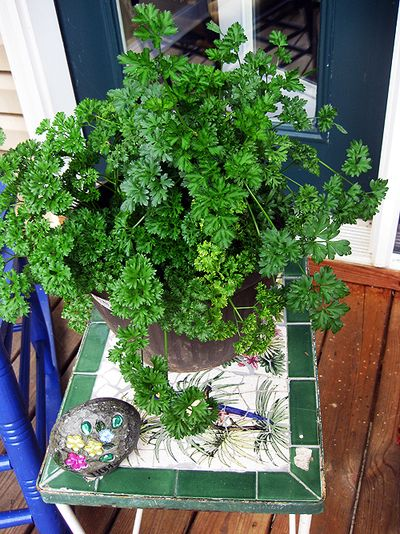 Summer parsley
