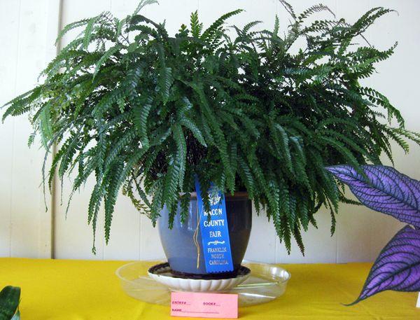 Fair Jeanne's fern