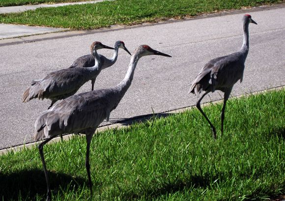 Cranes 4