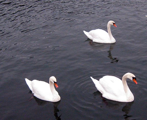 Swans three