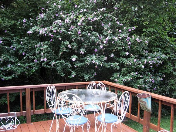 Deck with rose of sharon