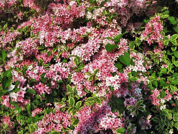 Pinkness wegelia closeup