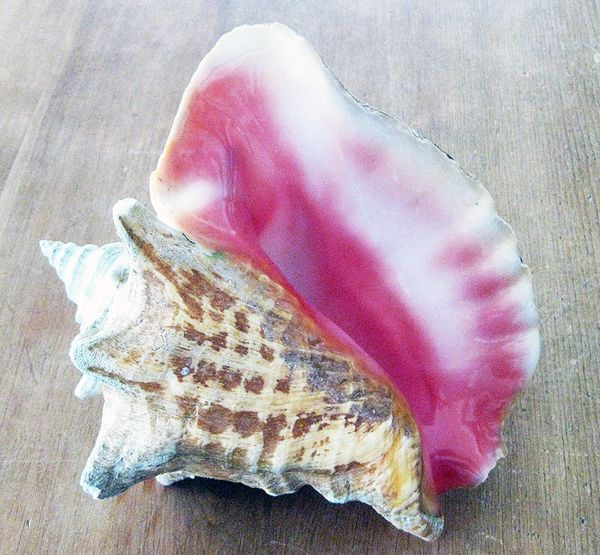 Cruise 2 conch shell 2